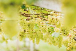 Weißer Wein - Ferienwohnungen Sinnergut in Nals, Südtirol